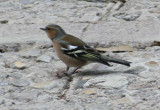 Common Chaffinch (Fringilla coelebs) Montserrat, Catalunya