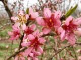 plum blossoms 1574