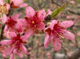 plum blossoms 1575