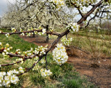 peach blossoms 1580