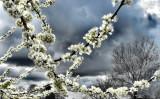 peach blossoms moody sky