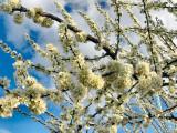 peach blossoms blue sky