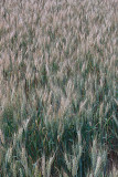 24 Staves of grain