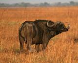 Bull Cape Buffalo