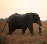 Left-Tusked Elephant