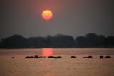 Hippos on the Zambezi River