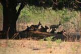 Wild Dogs Under Mahogany Tree