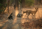 Wild Dogs Dusting