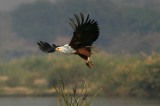 African Fish Eagle with Kill