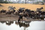 Wildebeest and Zebra at the Waterhole