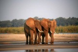 Elephant Urging the Other to Cross the River