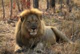 Lion at Guard