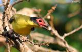 Figbirds