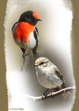 Red capped Robins
