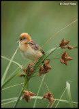 Cisticolas and Reed Warblers