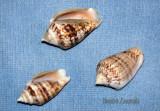 Conus  ventricosus  (mediterraneus)  ...