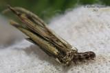 0437 - Common Bagworm Moth - Larve de Psyché - Psyche casta 1 m11
