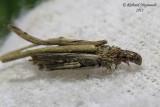 0437 - Common Bagworm Moth - Larve de Psyché - Psyche casta 2 m11
