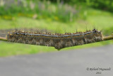 7698 - Forest Tent Caterpillar Moth - Malacosoma disstria 2 m11