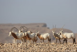Sahara Oryx & Arabian Oryx
