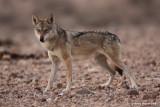 ON8Y9534PB.jpg Wolf