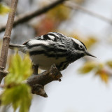 Black-and-white Warbler ♂