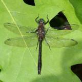 Emeralds : Cordulidae