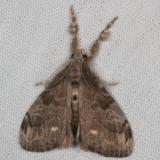 Hodges#8316 * White-marked Tussock Moth * Orgyia leucostigma