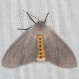Hodges#8238 * Milkweed Tussock Moth * Euchaetes egle