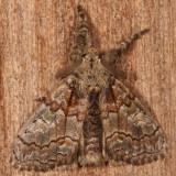 Hodges#8302 * Streaked Tussock Moth * Dasychira obliquata
