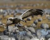 Common Crane.