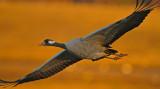 Common Crane in evening sun.