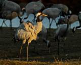 Common Crane in evening light.