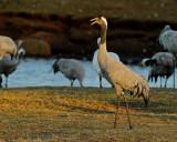 Common Crane in evening light