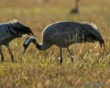 Common Crane in morning light