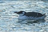Sillgrissla / Common Murre
