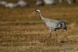 Common Crane/Trana