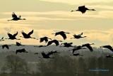 Common Crane/Trana/ in early morning light.