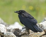 Korp / Common Raven