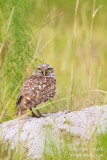 _MG_5892 burrowing owl w.jpg