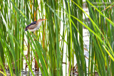 _MG_2054 least bittern w.jpg