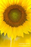 _ADR1701 sunflower cw.jpg