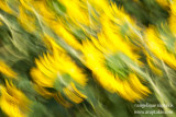 _ADR1810 liquid sunflower cw.JPG