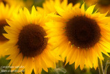 _ADR2134 sunflower IO cw.JPG