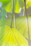 _MG_6426 lotus reflections w.JPG