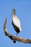 _MG_4983 wood stork w.JPG