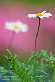 _ADR7908 daisies w.JPG