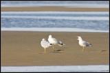 _ADR2485 gulls wf2.jpg