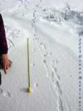 Measuring the stride of a lean red fox