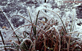 Hoar Frost on Cattails